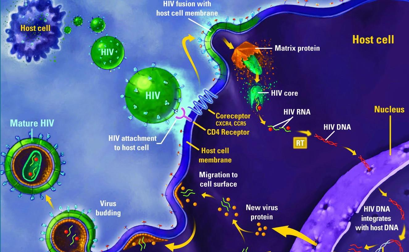 ciclo-virus-HIV
